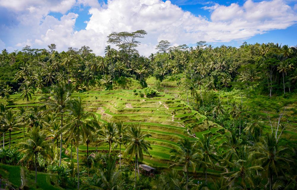 Bali Tegalalang Rice Field